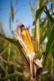 在茎的玉米棒子在域 图库摄影