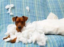 在咬住枕头以后的淘气嬉戏的小狗 库存照片