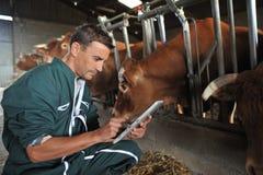 Хуторянин и коровы Стоковые Изображения