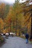 βοοειδή διασταύρωσης Στοκ φωτογραφία με δικαίωμα ελεύθερης χρήσης