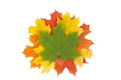 Кленовые листы Стоковые Изображения RF