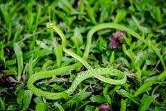 小的粗砺的翠青蛇 库存照片