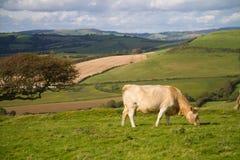 吃草在英国乡下的母牛 免版税库存照片
