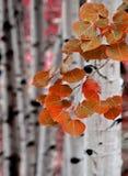 亚斯本在秋天的桦树 免版税库存图片