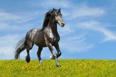在草甸的黑色马运行小跑 库存照片