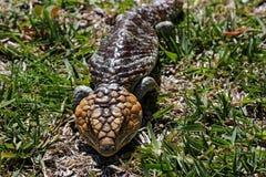短尾的蜥蜴 库存照片