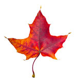 Кленовый лист осени Стоковые Изображения RF