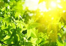 与星期日光芒的绿色叶子 免版税库存照片