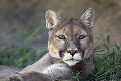 美洲狮 库存图片