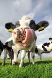 Смешная корова Стоковые Изображения RF