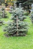 Μπλε δέντρο έλατου Στοκ εικόνα με δικαίωμα ελεύθερης χρήσης
