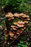 硫磺一束蘑菇 免版税库存照片