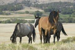 叫作卡萨诺瓦的马, 免版税库存图片