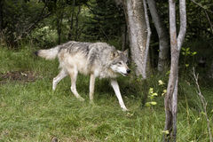 在四处寻觅的灰狼 免版税库存图片