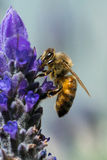 Пчела меда на лаванде Стоковая Фотография