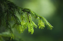 Κλάδος ενός γούνα-δέντρου Στοκ φωτογραφία με δικαίωμα ελεύθερης χρήσης