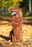 红色爱尔兰人的特定装置狗 免版税图库摄影