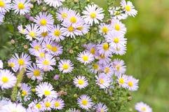 Цветки осени Стоковые Фото