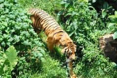 在草丛的老虎 免版税图库摄影