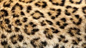 实际北部中国豹子皮肤背景 免版税图库摄影