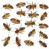 蜂收集 免版税库存图片