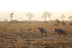 在日出的鬣狗 库存图片