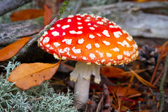 红色被察觉的伞菌在森林里 免版税库存图片