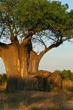 在日出的非洲大象和猴面包树结构树 库存照片