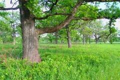 橡木大草原在伊利诺伊 免版税库存照片