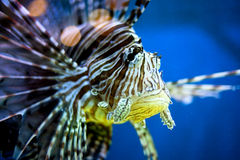 Тропические рыбы Стоковое фото RF