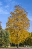 金黄桦树在秋季公园 免版税库存照片
