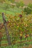 Итальянские виноградники Стоковое Фото