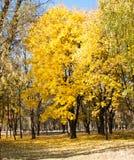 金黄叶子风景视图在结构树的在公园 免版税图库摄影