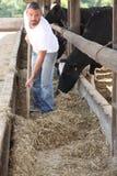 喂养母牛的农夫 免版税库存照片
