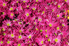 菊花花在庭院背景中 免版税库存图片