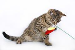 与一个红色玩具的英国小猫 免版税库存图片
