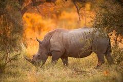 在黄昏的犀牛 免版税库存照片