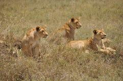 三只雌狮 免版税库存照片