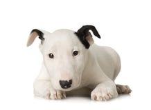 杂种犬 免版税图库摄影