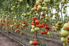 红色蕃茄 库存照片