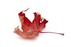 Сухой кленовый лист Стоковые Изображения