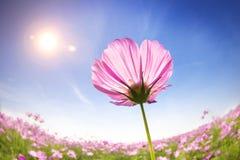 在阳光背景的美丽的雏菊 免版税库存照片