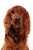 爱尔兰赤毛的塞特种猎狗 免版税库存图片