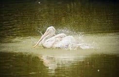 Птица пеликана на озере Стоковая Фотография