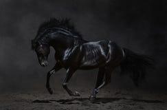 在黑暗的背景的疾驰的黑色马 免版税库存图片