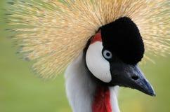 被加冠的起重机-与一种疯狂的发型的鸟 免版税库存图片