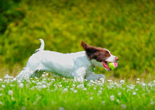 运行与球的狗 免版税库存照片