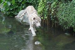 孟加拉白色老虎 免版税库存图片