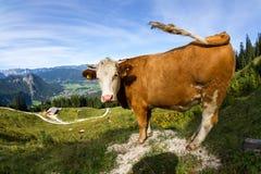 母牛在阿尔卑斯 免版税库存照片