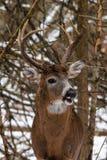 在雪的白尾鹿大型装配架 免版税库存图片